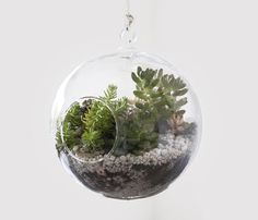 Easy Hanging Terrarium by sweetpeachblog: Made with a CB2 hanging glass globe ($3.95) http://pinterest.com/pin/201813560/. Or, add some water and a spider plant. #Terrarium #Hanging_Terrarium #sweetpeachblog
