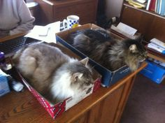 A mom was complaining about the cats constantly getting in the way and knocking things off the desk. It was suggested putting a box on the desk. She was skeptical... a few days later ...