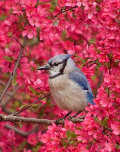 Blue Jay in blooming Crabapple  ♥ ♥