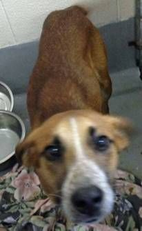 URGENT- SWEET DIXON  IS IN A RURAL GASSING SHELTER  IN BECKLEY WEST VIRGINIA-HE IS A  LOVING SWEET BOY AND VERY FRIENDLY. GOOD WITH DOGS. HE IS ONE YEAR OLD AND 25 POUNDS. TRANSPORT IS AVAILABLE FOR APPROVED OUT OF STATE ADOPTIONS/RESCUE. PLEASE...