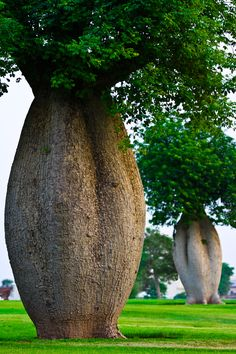 Toborochi trees at Aspire Park in Doha, Qatar • photo: terp16 on Panoramio