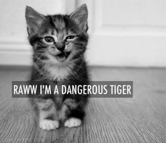 Raww im a dangerous tiger funny quotes quote tiger funny quotes dangerous