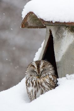 Tawny owl in snow, by Davide Casassa Mont