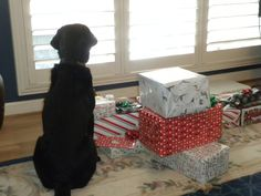 Miss Maybelle, a female black Labrador, patiently waits for Santa.