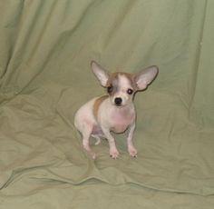 TEACUP Chihuahua Female