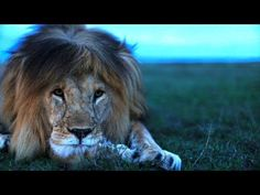 ▶ Understanding the Lives of Lions - YouTube
