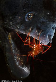 A shrimp hanging out in a moray eel's mouth