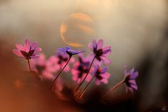 prettylittleflower:    spring purple (by Sandra Bartocha)