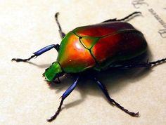 Red jewel beetle