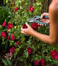 Gardener trimming a rose bush