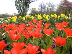 more happy tulips!