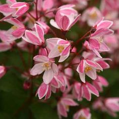 This Japanese native is perfect for a container (maybe even Bonsai)! Small cherry blossom-style blooms appear in spring atop red scapes just 2 feet tall.
