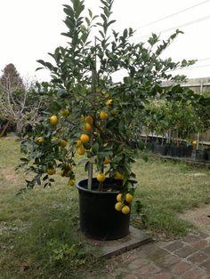 Website for citrus trees in metarie