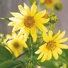 We'd love to have perennial sunflowers in our gardens! Get more fall flowers here: http://www.bhg.com/gardening/flowers/perennials/fall-garden-plants/?socsrc=bhgpin081014perennialsunflower&page=5