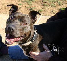 Chinpa is an adoptable Whippet Dog in Mechanicsburg, PA. Chinpa Puntsok has had a long journey to get to Im-Paws-Able! Chinpa is a happy-go-lucky pup who isn't a big fan of toys, but just wants to be ...