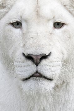 Rare WHITE lion - close up shot of watchful perfectly white face, seemingly inches from the photographer. (We'd hope for this being a telephoto shot! Updated RESEARCH by DdO:) - http://www.pinterest.com/DianaDeeOsborne/animals-of-a-different/ - White lions are NOT ALBINO. White is recessive but less severe mutation in same gene that causes albinism- distinct from gene responsible for white tigers. They vary from blonde to near-white. This color does not appear to disadvantage their survival.