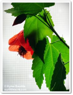 "Our Little Acre: ""Wordless Wednesday: Abutilon"""