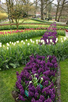 Purple hyacinths in geometric lines, Keukenhof Gardens, The Netherlands.  Photo: KarlGercens.com, via Flickr