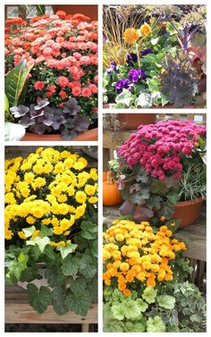 Fall Mums in Planters