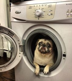 Mr. Pug says: Dis is not the bath! ♥ Clean pug! Pug Love dog doggie puppy boy girl black fawn funny fat outfit costume