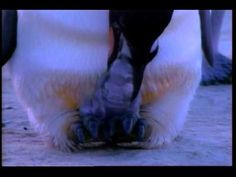 Birth and March of Emperor Penguins! I so heart penguins. Pick up some freebies too