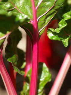 how to grow rhubarb, planting rhubarb, eat season, balconi garden, plantsgarden idea