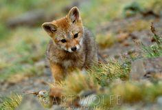 grey fox kit