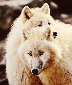 Arctic White Wolves