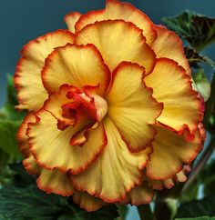 Red & Yellow Flower -Gorgeous !