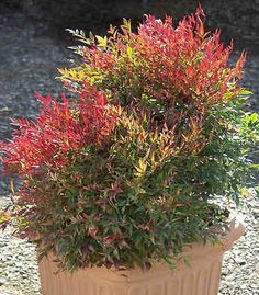 nandina shrub. Great for the desert and blooms all year in different colors and fruits