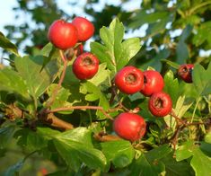 hawthorn berry - Google Search