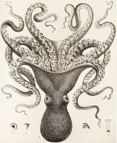 engraved squid
