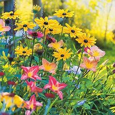 plant pairs, plant combo, black-eyed susan and daylilly