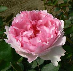 Peonies will be out of season at the end of August, so maybe these Metropole Peony Garden Roses would be nice!