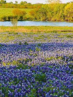 ✮ Bluebonnet Field