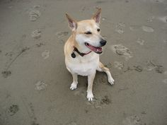Daisy (Carolina Dog) at the beach at Crissy Field, San Francisco