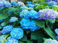 'Endless Summer' & 'Big Daddy' - 'Endless Summer' is a very hardy hydrangea and blooms on both the current season's growth as well as old growth, providing the advantage of a longer bloom period. 'Big Daddy', another H. macrophylla, has giant flower heads a foot across or more.