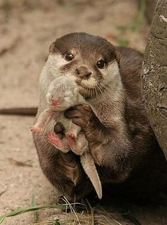 Mom and baby otter, look how proud she is of her lil baby i love otters almost as much as manatees and owls!