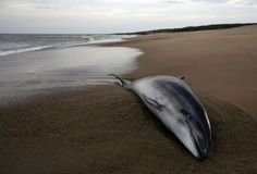 August 9, 2013 – VIRGINIA – Federal scientists investigating an unusually high number of dead bottlenose dolphins washing up on the East Coast said on Thursday the carcasses are showing up at a rate that is seven times higher than usual. More than 120 dead animals have been discovered since June from New Jersey to Virginia