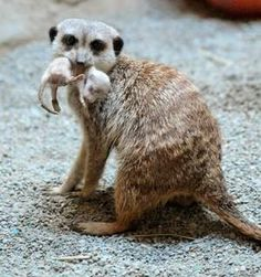 Baby meerkats at my local zoo!!!!! Erie PA. I love our zoo!