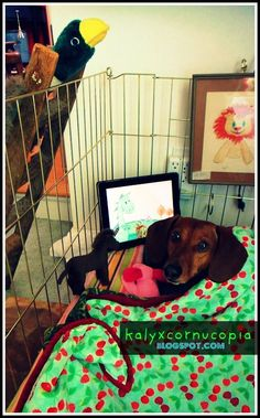 doxie apple a day
