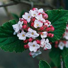 This fragrant viburnum is an all-around winner! More of the most beautiful spring-flowering shrubs: http://www.bhg.com/gardening/trees-shrubs-vines/shrubs/beautiful-spring-flowering-shrubs/?socsrc=bhgpin080813viburnum=1