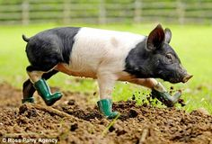 Photo of the Day: Baby Pig Wearing Boots | Serious Eats500 x 341 | 52.9 KB | www.seriouseats.com