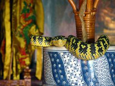 The Snake Temple is located at Sungai Kluang near Bayan Lepas airport in the Penang Island. The snake temple is probably the only one of its kind in the world. Built in 1850, the snake temple, is also known as Temple of the Azure Cloud or Pure Cloud Temple.