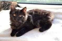 Xena Active, joueuse et vive, ce chaton est une vraie boule d'énergie, elle adore jouer, en hauteur, avec d'autres chats ou avec vous. Impatiente quand il s'agit du repas elle sait se faire entendre. ADAP - Association Défense Animale Pyrénéenne (Pyrénées-Atlantiques) Pau