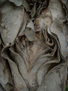 graftonnsw Jacaranda tree bark
