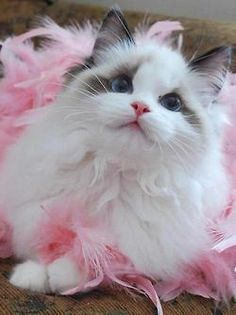 kitty in pink feathers