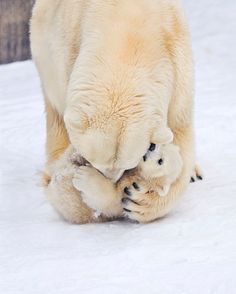 polar bear mommy and baby
