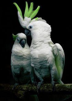 Beautiful Greater Sulfur Crested Cockatoo