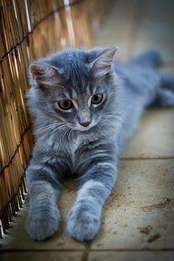Cute steel grey kitten sitting on a floor.